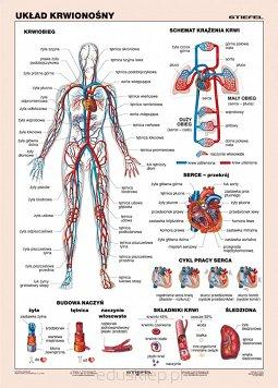 Układ Krwionośny Człowieka Plansza Dydaktyczna