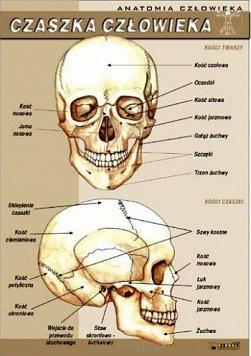 Czaszka Czlowieka Anatomia Czlowieka